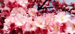 sakura kvety